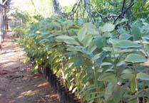 עצי אנונה מובחרים - מוכנים לשתילה בגינה
