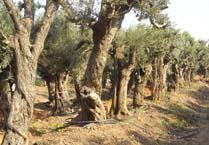 עצי זית - עצים חסכוניים במים