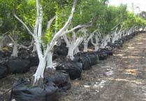 עצי הדר בוגרים שהועתקו