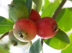 פרי גואבה תותית