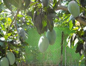 עץ מנגו בוגר מזן קיט - הפרי נשאר על העץ עד חודש דצמבר