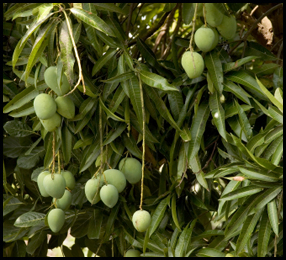 פרי תלוי על עץ מנגו