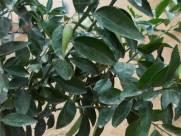 עלי העץ כהים בעלי ניחוח אופייני. בבגרותו מספק העץ הצללה חלקית.