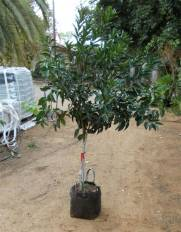 עץ קלמנטינה אור במיכל 30 ליטר. צולם במשתלה.