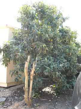 עץ שסק גדום