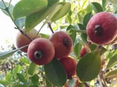 פרי לפני הבשלה