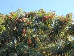 ליצ'י עמוס פרי - מתרחש בחודש אוגוסט בד