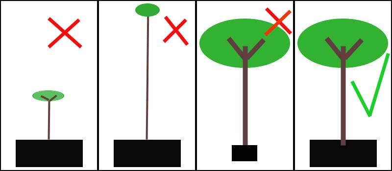 פרופורציות רצויום ולא רצויות בעצי פרי