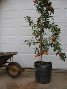 עץ הדר נושא פרי